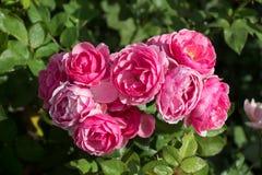 开花的美丽的五颜六色的玫瑰在庭院里 库存照片