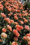 开花的美丽的五颜六色的玫瑰在庭院里 免版税库存图片