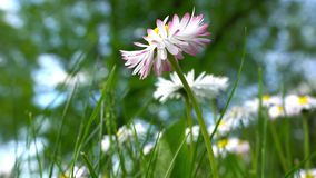 开花的美丽的春黄菊雏菊花 白桃红色 股票视频
