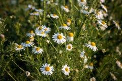 开花的美丽的春黄菊 免版税库存图片