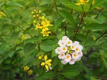 开花的美丽的桃红色和黄色马樱丹属camara 库存照片