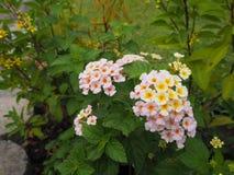开花的美丽的桃红色和黄色马樱丹属camara 免版税库存照片