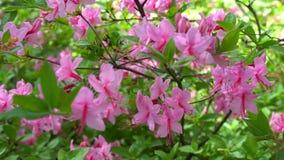 开花的美丽的桃红色杜鹃花在庭院里 影视素材