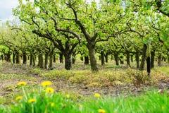 开花的美丽的梨果树园 库存照片