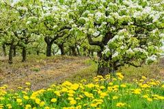 开花的美丽的樱桃园 库存图片