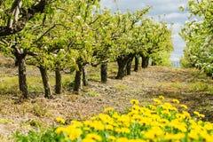 开花的美丽的樱桃园 免版税库存图片