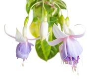 开花的美丽的软的白色和淡紫色倒挂金钟被隔绝 免版税库存照片