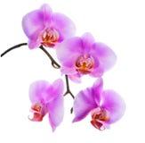 开花的美好的分支淡紫色兰花特写镜头是被隔绝的o 免版税图库摄影