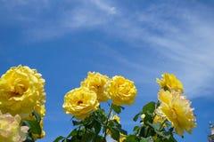 开花的美好的束黄色玫瑰开花与在蓝天树荫的绿色叶子和白色云彩背景在阳光天 免版税库存照片