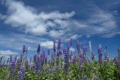 开花的羽扇豆在纽芬兰与拉布拉多 免版税图库摄影