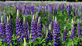 开花的羽扇豆的领域 影视素材