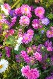 开花的翠菊在花圃里 免版税库存图片