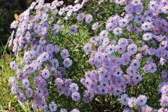 开花的翠菊背景  免版税库存图片