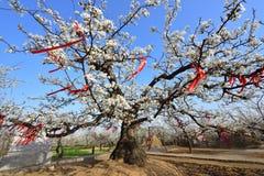 开花的老洋梨树是380岁 库存图片