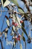 开花的胶`银公主`地方病分支向西澳州 库存图片