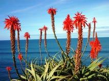 开花的芦荟维拉植物在马德拉岛 免版税库存照片