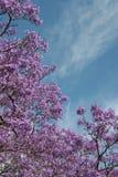 开花的花丁香结构树 库存图片