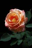 开花的花上升了 图库摄影