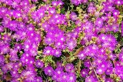 开花的花多汁植物 免版税图库摄影