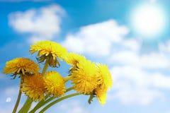 开花的花束蒲公英 免版税库存照片