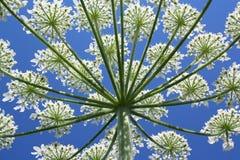 开花的花种植空白通配 库存图片