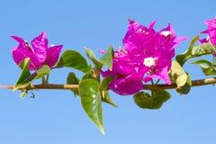 开花的花粉红色 库存图片