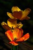 开花的花红色黄色 免版税库存照片