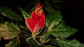 开花的花红色 影视素材