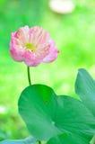 开花的花莲花粉红色 库存图片