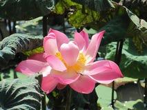 开花的花莲花 库存图片