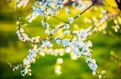 开花的花结构树 免版税库存照片