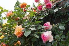 开花的英国兰开斯特家族族徽在庭院里 库存图片