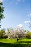 开花的苹果和蓝天分支的垂直的框架  免版税图库摄影