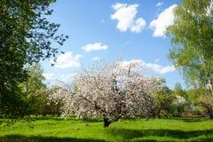 开花的苹果和蓝天分支的框架  免版税库存照片