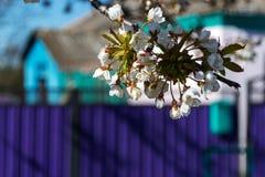 开花的苹果在一个清楚的晴朗的春日分支 免版税图库摄影