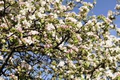 开花的苹果在树, Baden Wuttenberg开花 库存图片
