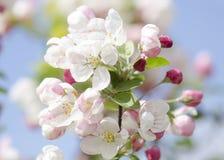 开花的苹果在蓝天开花在一个晴天 免版税库存照片