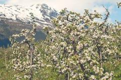 开花的苹果庭院在Hardanger,挪威 免版税库存图片
