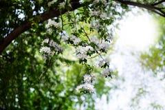 开花的苹果庭院,与白花的树枝在绿色被弄脏的晴朗的背景关闭,春天樱花 免版税库存图片
