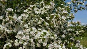 开花的苹果果树在果树园春天 股票视频