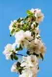 开花的苹果树关闭的枝杈 免版税库存图片