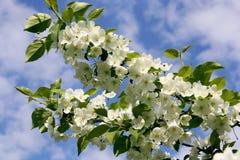 开花的苹果树分支反对蓝天 免版税库存图片