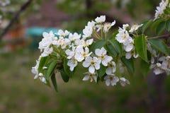 开花的苹果树分支在庭院里 免版税库存照片