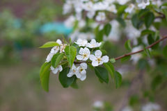 开花的苹果树分支在庭院里 免版税库存图片