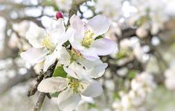 开花的苹果树分支在背景的一个绿色庭院 库存照片