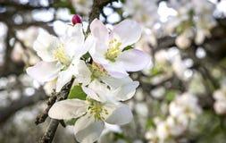 开花的苹果树分支在背景的一个绿色庭院 图库摄影