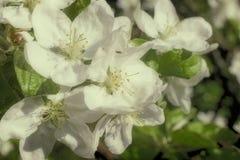 开花的苹果树分支在背景的一个绿色庭院 库存图片