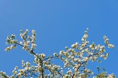 开花的苹果树分支在蓝天背景的 图库摄影