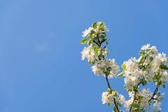 开花的苹果树分支在蓝天背景的 库存图片