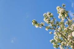 开花的苹果树分支在蓝天背景的 库存照片